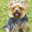 Female Yorkshire Terrier - Stock Photo