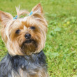 Yorkshire terrier — Stock Photo #10653822