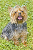 Yorkshire terrier on the grass — Stock Photo