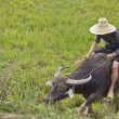 Chinese farmer guiding his buffalo to plow the rice planting - Stock Photo