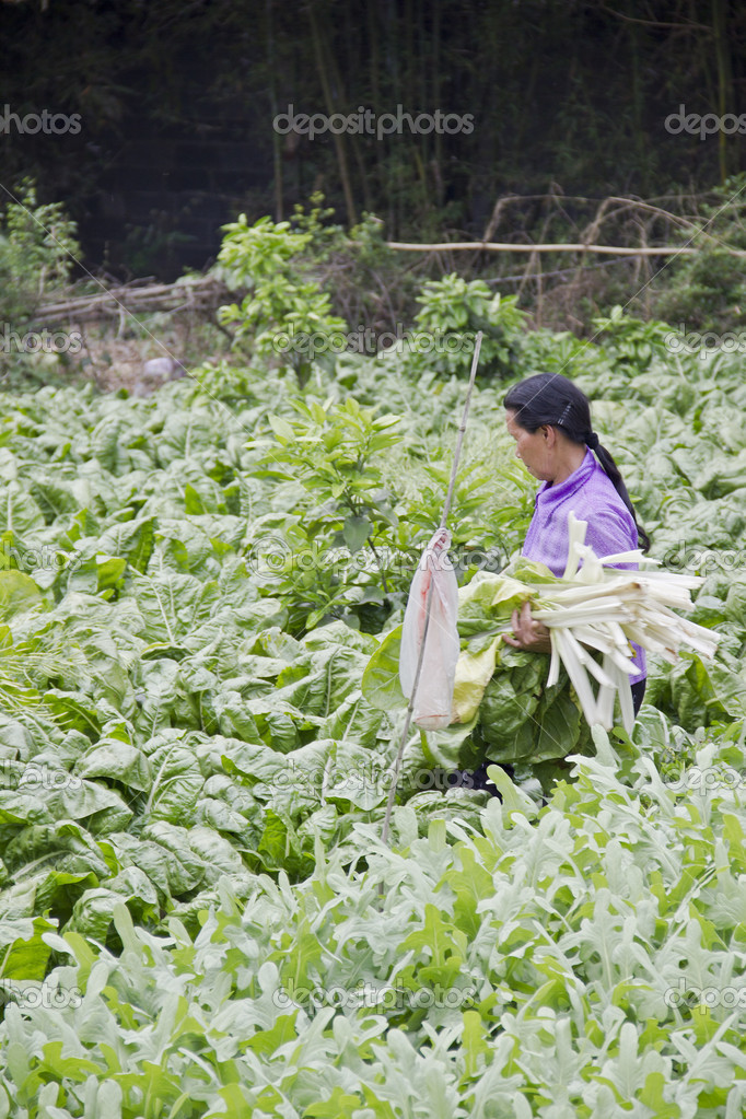 A farmer reaping kale from the plantation in a rural area  Stock Photo #8679465