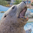 Sea lion portrait — Stock Photo