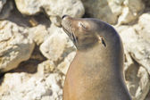 Sea lion sunbathing — Stock Photo