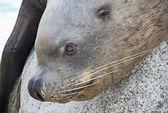 Close-up do leão-marinho — Foto Stock
