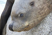 Primo piano leone marino — Foto Stock