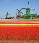 Windmills and tulip field — Stock Photo