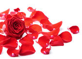 Red rose petals isolated — Stock Photo