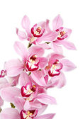 Pink orchid flowers isolated — Stock Photo