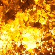 Autumnal maple leaves - Stockfoto