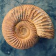 Antique snail shell — Stock Photo