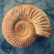 Antique snail shell - Stock Photo