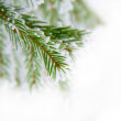 Stock Photo: Pine twig