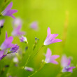 Purple flowers close-up — Stock Photo