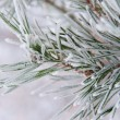 Pine twig — Stock Photo #10213705