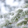 Pine twig — Stock Photo #10213718