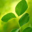 Beautiful green leaves close-up. — Stock Photo #10213720