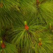 Fir tree — Stock Photo #10214502