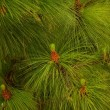 Fir tree — Foto de stock #10214502
