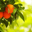 Orange tree — Foto Stock