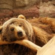 Brown bear — Foto Stock #10214520