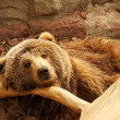 Brown bear — Stock Photo #10214520