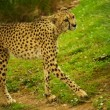Cheetah outdoors - Stock Photo