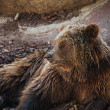 Brown bear lying down. - Stock Photo