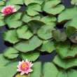 Pink water lilly — Stock Photo #10214958