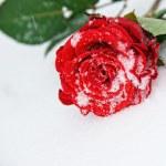 piękna róża na śniegu — Zdjęcie stockowe