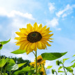 Sunflowers against blue sky. — Stock Photo #10215217