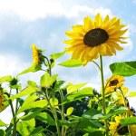 Sunflowers against blue sky. — Stock Photo #10215218
