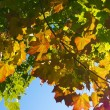 Autumnal leaves -  