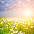 Daisy field - Stock Photo