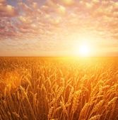 Wheat field over cloudy sky — Stock Photo