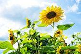 Sunflowers against blue sky. — Stock Photo