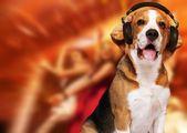 Beagle dog — Stock Photo