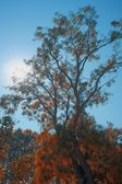 Autumn tree — Foto Stock