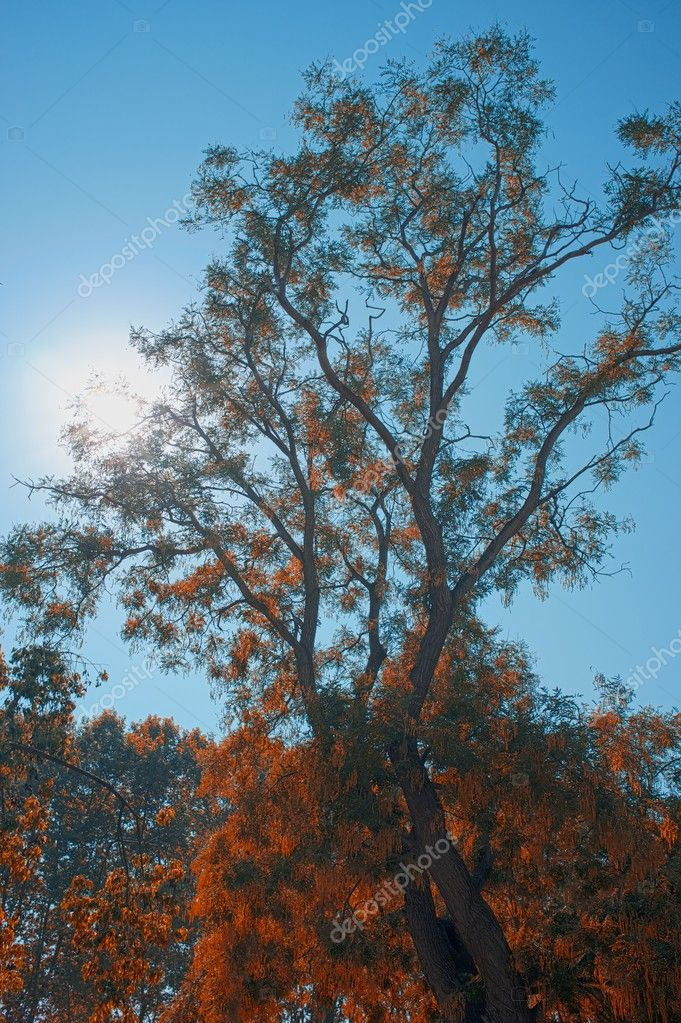 Autumn tree against blue sky  Stock Photo #10215390
