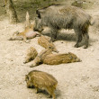 Stock Photo: Wild boar with wild boar's babys