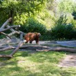 Brown bear at the tumbled down trees — Stock Photo