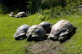Large overland turtles — Fotografia Stock