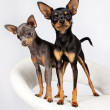 Image of little cute dogs - Stock Photo