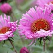 Close-up of pink perennial aster — Stock Photo