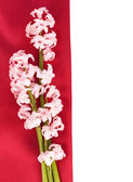 Pink hyacinth flower — Stock Photo