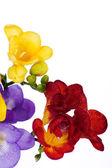 Yellow and violet fresia — Stock Photo