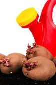 Kartoffeln rosenkohl — Stockfoto