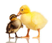 Domestic duckling and gosling — Stock Photo