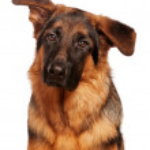German shepherd — Stock Photo #8410560
