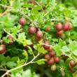 Gooseberries - Stock Photo