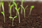 緑の苗 — ストック写真